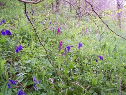 Bluebells and Early Purple orchids
