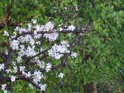 Blackthorn and Hawthorn hedgerow