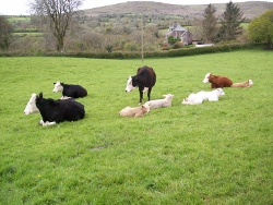 Cattle grazing Bottom close