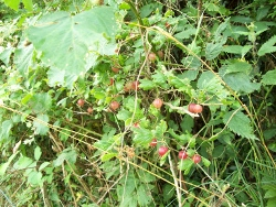 Hedgerow fruit