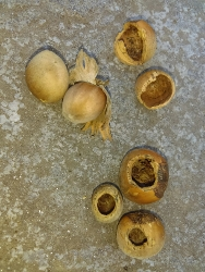 Hazel nuts eaten by dormice